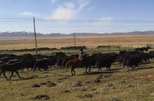 理塘这边是高海拔地区,也是拥有畜牧业发展的优越资源条件,草地资源丰富,都是天然草地,其中可利用部分相