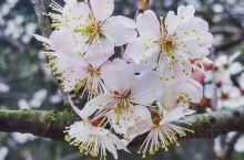 樱花为温带、亚热带树种,性喜阳光和温暖湿润的气候条件,有一定抗寒能力。对土壤的要求不严,宜在疏松肥沃