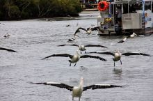 抓泥蟹,喂鹈鹕~翠儿河半日闲  翠儿河紧靠黄金海岸,是新南威尔士和昆士兰的界河。这条河的自然生态维护