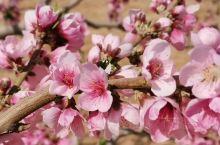 兰州黄河滩的桃花,虽然姗姗来迟,也无南方漫山遍野的气势。但桃花固有之娇艳亦然桃之夭夭,灼灼其华。少有