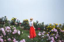 周末的时候去辰山植物园看月季,蔷薇花虽然已经谢了,月季有些也凋零了,但园艺工人说了,月季谢了还会再开