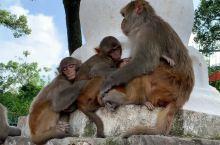 尼泊尔,猴对人的漠视,流浪狗与乞丐的相饻,构建了加德满都的名片:包容与谦让