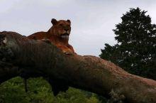 雄狮与母狮,酷!
