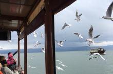 加利利湖湖鸥