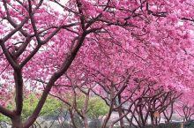 永福樱花季