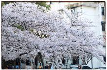 2019年环城北路的樱花,年年岁岁花相似、岁岁年年人不同