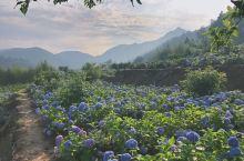 延续着春天的浪漫,糅合着夏天的绚彩,初夏时分,绣球花盛开的时节,多姿多彩的绣球花正幸福村竞相绽放。花