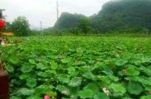 广东阳山县水口镇的莲花节到时候了,值得一看喔。