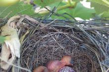 院子裏的繁殖季,斑鳩的築巢技巧遠遠不及白頭翁。