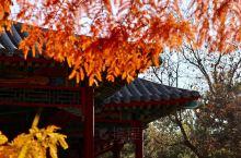 中山公园落羽杉 2017年11月10日,特氏访华,天气晴好,云儿亦乖乖排队。 余亦心清气爽,脚下生风