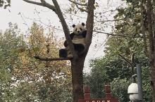 成都大熊猫繁育研究基地  熊猫基地还是值得一去的,四川的景点太多了,可熊猫确实是四川的名片,地铁三号