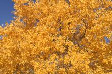 总以为银杏叶是秋天最美的,金色的叶子,阳光下太漂亮了,一种富贵的色彩。这次去了大西北才知道,原来秋天