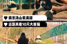 南京汤山紫清湖|周末近距离看10只大熊猫,说走就走  国宝大熊猫是世界级的网红,很多小伙伴为了看它们