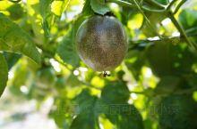 百香果,具有清肠健胃、排毒养颜、促进代谢、消炎等功效。