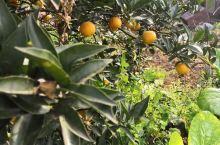 成都天府新区【由由草莓乐园】占地80亩,已经开了七年了,今天来到基地一边摘草莓,一边听老板杨姐介绍,