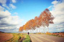 日本富良野的深秋,一篇篇金黄色的树林,一排排金色的树木在蓝天的映衬下,形成特别色彩斑斓的画面,美不胜
