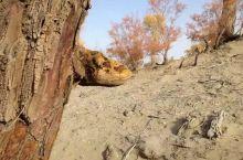 千年胡杨树,就是这么神奇,沙漠卫士名不虚传,生而不死三千年,死而不倒三千年,倒而不朽三千年,看到树上