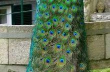 这样的孔雀 你真眼看过吗? 我们小时候 老人说 孔雀是天堂的动物 ,所以它的美妙的羽毛 看了一次人心
