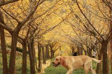 所有关于秋冬的文案,都不如银杏叶来的直白。 说起秋天的颜色,银杏叶亮丽的金黄是最具有代表性的色彩之一