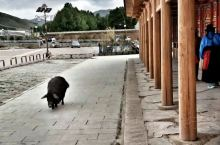 拉卜楞寺的猪