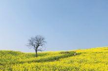 《菜花》——清·乾隆         黄萼裳裳绿叶稠,千村欣卜榨新油。         爱他生计资民