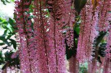 漂亮的坚果树花朵一串串,期待硕果累累的时候