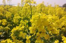 家乡的油菜花儿,疫情期间,不能乱跑,所以看看家门口的花儿吧
