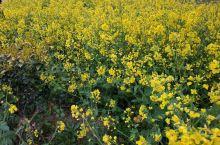 疫情过后,待见春天!油菜花,桃花,海棠花灿放,还有叫不出名字的也是花意正浓,小河旁垂柳吐新枝,一切显