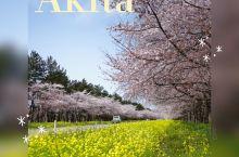 秋田县·日本  小众目的地,秋田县赏樱之旅!400年前武士居住过的角馆,黑色板墙与粉色垂枝樱的色彩搭