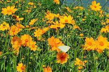 信步护城河畔,一路花开绚烂 温馨的黄色