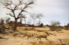 南非·克鲁格国家公园  两只年轻的母狮正在嬉戏奔跑。她们突然从草丛中窜出,我来不及拿起单反,只能用手