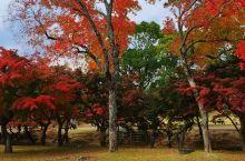 奈良公园红叶!