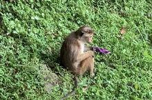狮子岩的猴