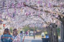 又是一年樱花季,又到一年莺飞草长时,无锡鼋头渚樱花开始进入盛花期,在未来的一周里将陆续绽放。 赏樱还