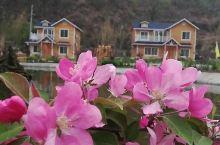 碾子沟的海棠花开
