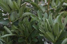 蚕豆花、油菜花……