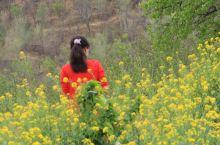 四月的石家庄常馨谷, 正经历着一个季节的芬芳, 幽静山谷蔓延山间的千亩油菜花海, 层层叠叠, 以燎原