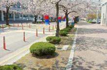 韩国全南木浦大学樱花