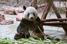 大熊猫观看攻略