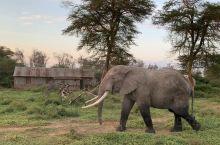 安博赛利的大象🐘