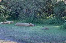 一群睡熟的狮子