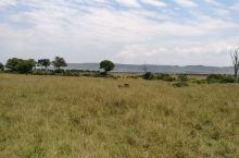 马赛马拉大草原上,一只正在觅食的非洲雄狮。