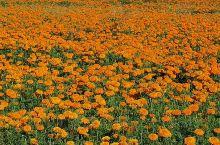 乡间的菊花,令人看了心旷神怡,多远的路,也值了