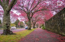 奥克兰有一条锦绣街坐落在伊甸山附近的居民区,每年九月这条街上的早樱花盛开,落红缤纷,把一条街打扮的如