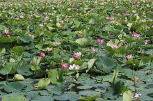 萝北县共青农场荷花池,欢迎大家来参观旅游,给你另一样的心情,共青农场有北方共青城的美誉!