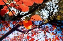 京郊赏秋最强攻略!春赏红花,秋赏红叶   北京的秋天好短  刚捡起落叶放进书间 刚收获苹果装满箩筐