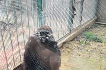 好可怜的大猩猩
