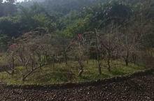 这里是大寨沟里梅园的景点。因为是在秋季了这里的花树几乎都凋谢了,只有零星的杜鹃花在独自开放。要看花应