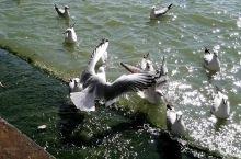 在滇池边看鸟,逗鸟,喂鸟,拍鸟,这些西伯利亚飞过来的红嘴鸥,扑腾着,引起人们的欢呼,也带来了许多欢乐