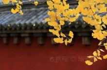 千年古刹少林寺,观赏银杏正当时 少林寺里的银杏树数量不少。但长在天王殿前的一棵很特别,还有着光棍树的